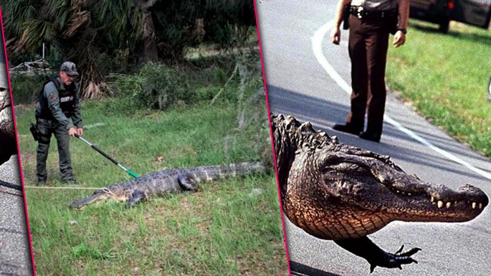 Florida Authorities Warn of 'Road Rage' Incidents Involving Mating Aggressive Alligators