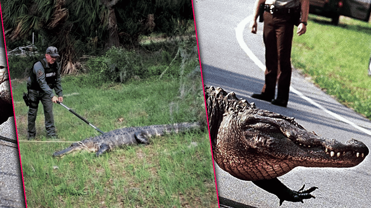 Florida Authorities Warn of 'Road Rage' Incidents Involving Mating Aggressive Alligators