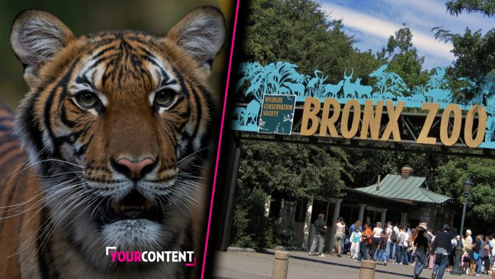 NYC: Nadia the tiger is first animal to test positive for COVID-19 in U.S. » Your Content