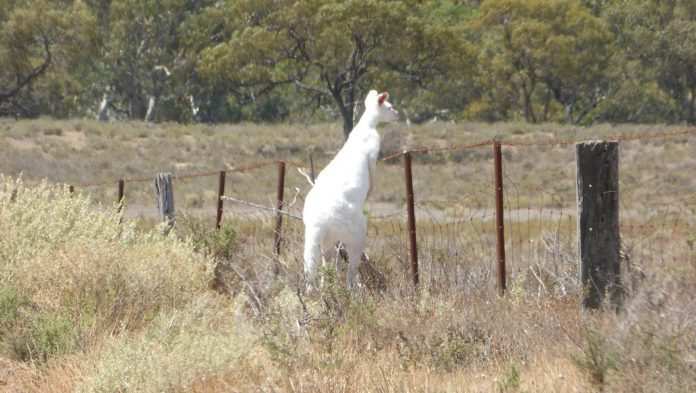 Albino Kangaroo KIDNAPPED from German Zoo, Police Hunt for Culprits: 'No Trace of Blood'